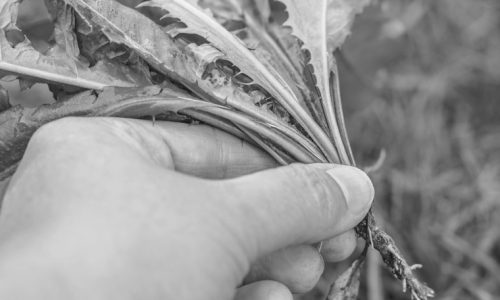 Gardening - pulled weed (sonchus) in gardener's hand. Outdoor garden - green lawn as background.